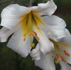 Lilium regale (lily bulb)
