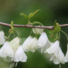 Halesia carolina (silver bell)