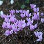 Cyclamen hederifolium (cyclamen bulb   (syn. Neapolitanum))