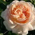 Rosa Joie de Vivre  ('Korfloci01') (PBR) (rose Joie de Vivre (shrub) = Rose of the year 2011)