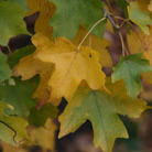 Acer campestre (field maple   hedging range)