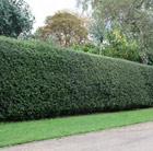 Ilex aquifolium (English holly   Hedging Range)