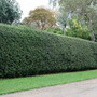 Ilex aquifolium (English holly   Hedging Range)