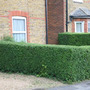 Ligustrum ovalifolium (oval leaf privet   Hedging Range)