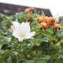 Rosa rugosa 'Alba' (rose (shrub)   Hedging range)