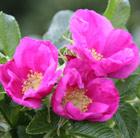 Rosa rugosa 'Rubra' (rose (shrub)   Hedging range)