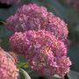 Hydrangea arborescens Invincibelle ('NCHA 1') (sevenbark)
