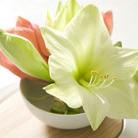 Hippeastrum 'Limona' (amaryllis Limona bulb)