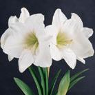 Hippeastrum 'Snow Queen' (amaryllis Snow Queen bulb)