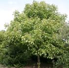 Juglans nigra (black walnut)