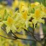 Rhododendron luteum (deciduous azalea)