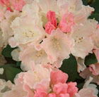 Rhododendron 'Dreamland' (hybrid rhododendron)