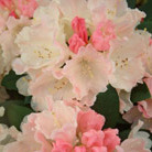 Rhododendron 'Dreamland' (hybrid rhododendron)