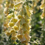 yellow foxglove