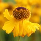 Helenium 'Riverton Beauty' (sneezeweed)