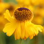 Helenium 'Riverton Beauty' (sneezeweed)