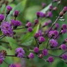 Vernonia crinita 'Mammuth' (ironweed)