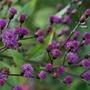 Vernonia crinita 'Mammuth' (ironweed)