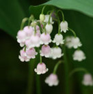 Convallaria majalis var. rosea (lily of the valley)