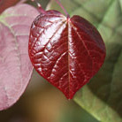 Cercis canadensis 'Forest Pansy' (American Redbud)