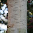 Betula utilis var. jacquemontii 'Grayswood Ghost' (Himalayan birch)