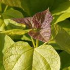 Catalpa bignonioides 'Aurea' (Indian bean tree)