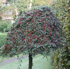 Cotoneaster 'Hybridus Pendulus' (standard cotoneaster)