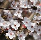 Prunus cerasifera 'Pissardii' (purple leaved plum)
