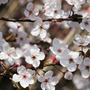 Prunus cerasifera 'Pissardii' (purple leaved plum)