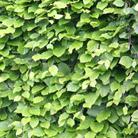 Fagus sylvatica (common beech   hedging range)