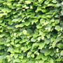 common beech   hedging range