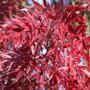Fraxinus angustifolia 'Raywood' (claret ash)