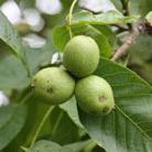 Juglans regia (common walnut)