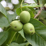 Juglans regia (common walnut)
