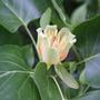 Liriodendron tulipifera (tulip tree)