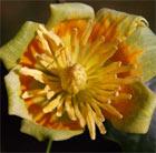 Liriodendron tulipifera 'Aureomarginatum' (tulip tree)