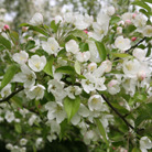 Malus 'Evereste' (crab apple)