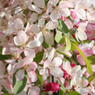 Malus floribunda (Japanese crab apple)