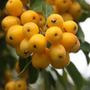 Malus x zumi 'Golden Hornet' (crab apple)