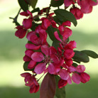 Malus x moerlandsii 'Profusion' (crab apple)