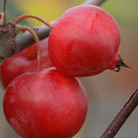 Malus x robusta 'Red Sentinel' (crab apple)