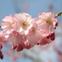 Prunus 'Accolade' (ornamental cherry)