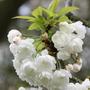 Prunus avium 'Plena' (wild cherry)