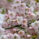 Prunus 'Pandora' (ornamental cherry)