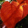 Prunus sargentii (Sargent's Cherry)