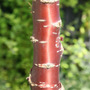Prunus serrula (birch bark cherry)