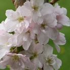 Prunus 'Amanogawa' (Japanese flowering cherry)