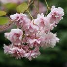 Prunus 'Kiku shidare zakura' (cheal's weeping cherry)