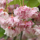 Prunus 'Shirofugen' (Japanese flowering cherry)