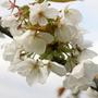 Prunus serrulata 'Tai Haku' (Hill Cherry)